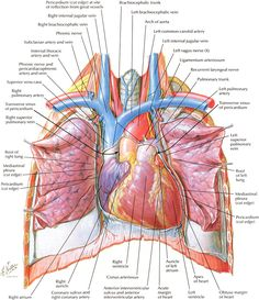 Human Heart And Lungs Diagram 3d Origami Animals 223 Best Images In 2019 Health Nurses Nursing Arteries Netter S Anatomy Is Seriously Beautiful You Don T Have To Be A Science Geek Appreciate This It Overall Amazing