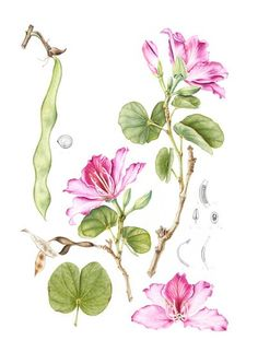 The Society of Botanical Artists - Distance learning diploma course botanical art.