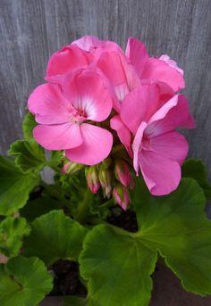 Houseplants for Better Sleep 'History of the U.S Pink Ii' Geranium Exotic Flowers, Pretty Flowers, Pink Flowers, Brick Patterns Patio, Ornamental Cabbage, Beautiful Flowers Wallpapers, Malva, Pink Garden, Flower Beds