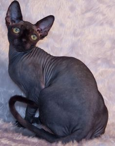 Cats Sphynx Animals 28 Ideas For 2019 Beautiful Cats, Animals Beautiful, Cute Animals, Baby Animals, Wild Animals, Black Hairless Cat, Hairless Cats, Bengal Cats, Bengal Tiger