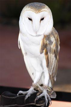 Barn Owl.  Photo by Pam Staples, www.sunnygirlscraps.com