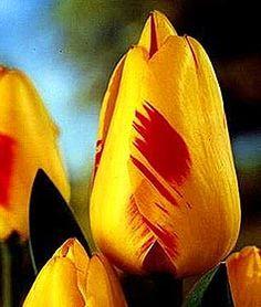 Class 4: Darwin Hybrid Tulips Olympic Flame