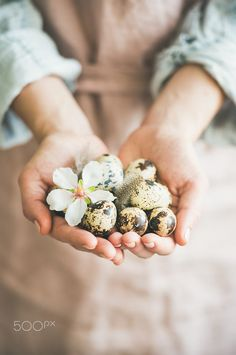 Buy Quail eggs in hands of woman for Easter by sonyakamoz on PhotoDune. Natural colored eggs in feminine hands with tender Spring almond blossom flower and fea. Easter Flower Arrangements, Easter Flowers, Almond Blossom, Easter Table Decorations, Animal Nutrition, Worm Farm, Quail Eggs, Holiday Greeting Cards, Easter Holidays