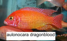 African Cichlid blood | African Cichlid Forum • View topic - Firefish