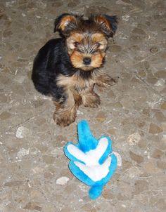Morkie Dog Puppy