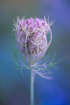 All the beautiful ... Plant Pictures, Flower Pictures, Flowers Perennials, Planting Flowers, Flowers Nature, Wild Flowers, Purple Flowers, Beautiful Flowers, Carrot Flowers