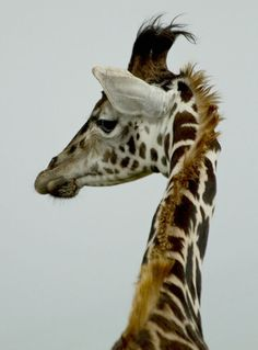 Young giraffe with upswept hairdo using hair gel.  I like the look!