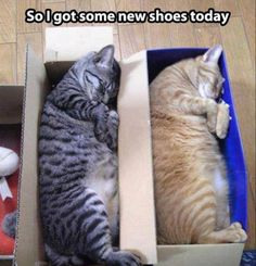 So I Got New Shoes Today cute animals cat cats adorable animal kittens pets kitten funny pictures funny animals funny cats Crazy Cat Lady, Crazy Cats, I Love Cats, Cute Cats, Adorable Kittens, Gato Animal, Funny Animals, Cute Animals, Animal Funnies