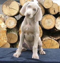 Weim puppie