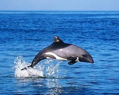 The Haviside's Dolphin (Cephalorhynchus heavisidii) is a small dolphin that is found off the coast of Namibia and the west coast of South Africa. It is about 1.8 m (5.9 ft) long and weighs 40/75 kg