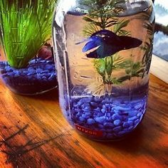 ♥ Pet Fish Stuff ♥  Mason jar beta fish... though you CAN keep a betta in a mason jar you'll need to change the water often.  Consider getting a bigger tank.