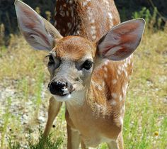 Curious Fawn by Audrey Woods #fawn #wildlife