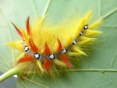 Jewel Caterpillar - SCDUCKS.COM Forums