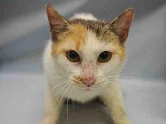 """SUMA - A1061588 - - Manhattan   **TO BE DESTROYED 12/31/15** SUMA is a lovely lady who has been given an EXPNOCHILD rating from the shelter, on account of her defensiveness in their """"care."""" Anyone who knows anything about what they do to animals at the ACC, will know that SUMA is not wrong to act defensively. That's an entire organization that would rather kill cats than find homes for them, and SUMA is no fool! She is the sort of cat who usually blossoms"""