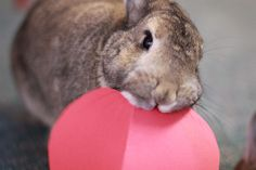 Does your bunny run away when you come near? Learn ways to bond with your pet rabbit so he or she will come to trust and appreciate you. Rabbit Life, House Rabbit, Pet Rabbit, Funny Bunnies, Baby Bunnies, Cute Bunny, Bunny Rabbits, Bunny Bunny, Rabbit Behavior