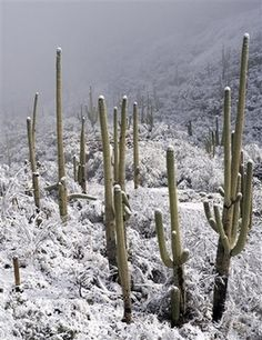 Snow Covers Desert Vegetation at the Entrance to the Santa Catalina Mountains in Tucson, Arizona Photographic Print Snow Covers Desert Vegetation at the Entrance to the Santa Catalina Mountains in Tucson, Arizona State Of Arizona, Tucson Arizona, Arizona Winter, Ranch Vacations, Desert Life, Desert Plants, Places To See, Beautiful Places, National Parks