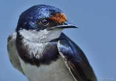Portrait of a White-throated Swallow (Hirundo albigularis).South Africa