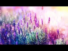 Relaxing Music for Stress Relief. Soothing Music for Meditation, Healing Therapy, Sleep, Spa Calming Music, Relaxing Music, Lavender Fields, Lavender Flowers, Meditation Music, Healing Meditation, Medicinal Herbs, Photo Canvas, Stress Relief