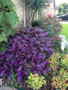 persian shield images - Google Search