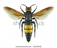 Wasp Scolia dejeani (female) on a white background - stock photo