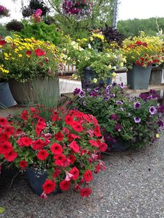 #Container Gardening with petunias