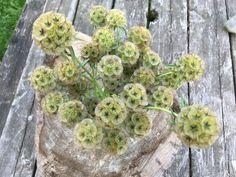 Scabieuse « Starflower ». Cette fleur évolue en deux étapes. D'abord apparaissent de petites fleurs mauve pâle sur des tiges raides. Ensuite elles se transforment en des boules de forme géométrique, de couleur bronze. Également utile pour les bouquets séchés.  30 cm