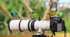 not birds I've seen but it is hilarious. Red-necked Tanager (female); Green-headed Tanager; Blue Dacnis (female) and Bananaquit. Taken in Morretes, Pr, Brazil