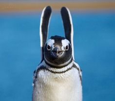"""""""Hands Up!"""" by Vadim Balakin on - This is a Magellanic Penguin (Spheniscus magellanicus), Valdez Peninsula, Argentina. Kinds Of Penguins, Cute Penguins, Nature Animals, Animals And Pets, Cute Animals, Penguin World, Playoff Picture, Penguin Love, Penguin Parade"""