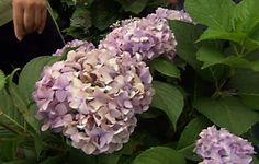These classic flowering shrubs are prized by homeowners from North to South. Here's how to get them to bloom their best