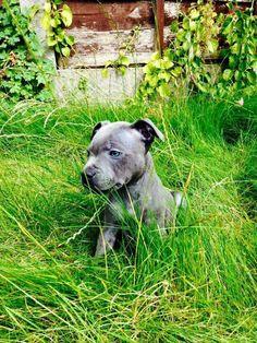 10wks - (British - Staffordshire Bull Terrier)