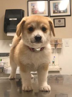 Cousin just rescued this little Corgi Pomeranian mix via aww on May 20 2019 at Pomeranian Mix Puppies, Corgi Husky Mix, Corgi Mix Breeds, Cute Puppy Breeds, Aussie Puppies, Tiny Puppies, Corgi Dog, Cute Puppies, Puppies Tips