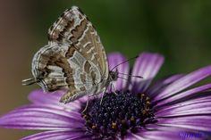 erasmo9: Mariposa del geranio;  Bronze Géranium.  par jordi51 sur Flickr.