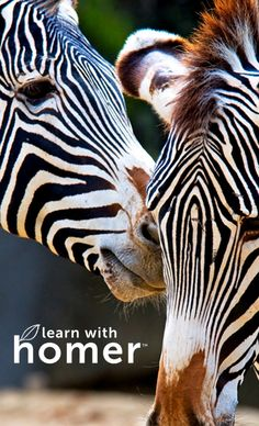 Zebras my favorite. Get your child kindergarten ready! The only ground breaking learning system proven to increase scores. Designed for children ages Based on Harvard and Stanford research - try FREE! Beautiful Creatures, Animals Beautiful, Cute Animals, Facts For Kids, Fun Facts, Animal Facts, All Gods Creatures, Animal Kingdom, Pet Birds