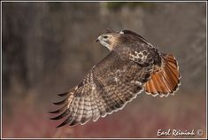 Fall is almost here and so are the Red-tails Raptor Bird Of Prey, Birds Of Prey, Falcon Hawk, Hawk Tattoo, Red Tailed Hawk, Animal Totems, Raptors, Nature Animals, Hawks