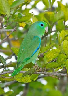 Spectacled Parrotlet - such gorgeous coloring