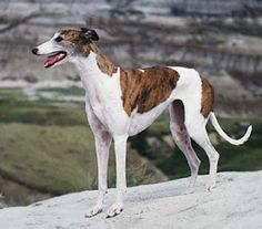 Brindle & White Greyhound...our White Dove is Brindle & White! Love her! Can't get her this far from me to take her picture! My Velcro dog!