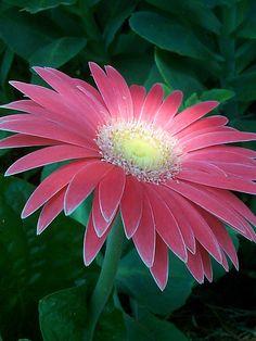 """""""Nós seres humanos, estamos na  natureza para auxiliar o progresso  dos animais, na mesma proporção  que os anjos estão para nos auxiliar.  Portanto quem chuta ou maltrata um  animal é alguém que não aprendeu a amar""""  Chico Xavier Colorful Flowers, Pink Flowers, Amazing Flowers, Beautiful Flowers, Pink Gerbera, Pink Daisy, Beautiful Beautiful, Gerber Daisies, Bella"""