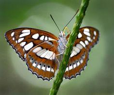 Winged Beauty!