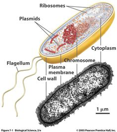 Biology Pictures: Bacteria