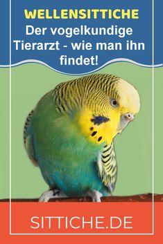 In diesem wichtigen Artikel erfährst du, wie man einen geeigneten vogelkundigen Tierarzt findet - und das nicht erst, wenn Not am Mann ist, sondern man sollte sich bereits im Vorfeld auf die Suche machen udn sich erkundigen. Dazu helfen einige ausgearbeitete Fragen. www.sittiche.de bietet viele Themen rund um die Wellensittich-Haltung. Parakeet, Parrot, Fish, Pets, Animals, Budgies, Vet Office, Searching, Round Round
