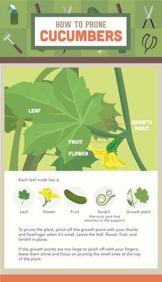 How to Prune Cucumbers - Vegetable Pruning Guide
