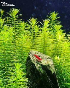 On the top of the world ❤  #Aquaflora #Aquascaping #Planted #Aquarium #Aquatic #Plant #Freshwater #aquascape #plantedtank #plantedaquarium
