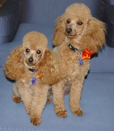 Poodles with new haircut