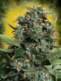 Autopilot XXL Feminised Seeds by the cannabis breeder Ministry of Cannabis, is a Autoflowering Feminised marijuana strain.This Mostly Indica strain produces a High up to 250 gr/ plant outdoors yield.This Feminised seed grows well in Indoors, Outdoors conditions.This strain has Big Bud XXL Genetics. It has a Medium (10-15%) THC Content. The CBD content of the strain is Unknown.  #marijuana #seeds #ganja #herb #strain #autoflowering