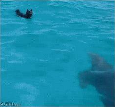 junmykのたんぶらこっこ, 4gifs:   Dolphin and dog swim together