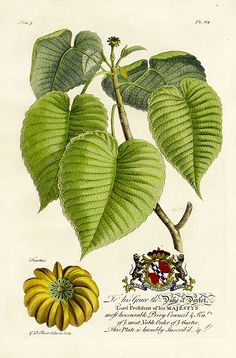Ehret Botanical Prints from The Natural History of Barbados 1750