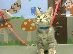 URGENT-- *KITTEN* ID#A457631  I am described as a male, silver tabby and white Domestic Shorthair mix.  The shelter thinks I am about 4 months old  I have been at the shelter since Dec 08, 2015 and I am available for adoption now Moreno Valley, CA Animal Services