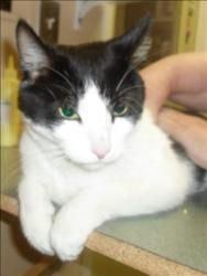 Gandolf is an adoptable Domestic Short Hair Cat in Duluth, MN. AVAILABLE AT ANIMAL ALLIES SUPERIOR Gandolf is a handsome 6 year old black and white cat. This cute guy is reported to be shy but energet...