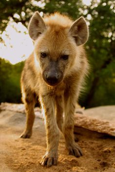 Wild Spotted Hyena