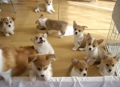 oh my goodness look at all those adorable faces!! CORGIS!